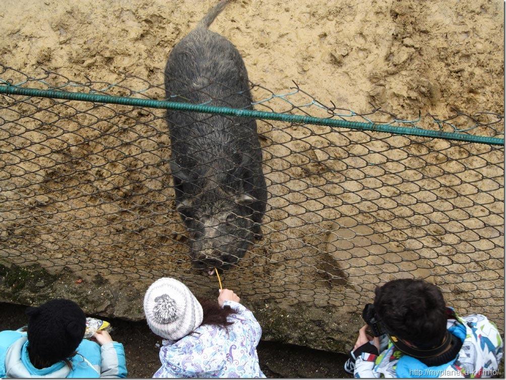 Посетители зоопарка кормят дикого поросенка печенюшками
