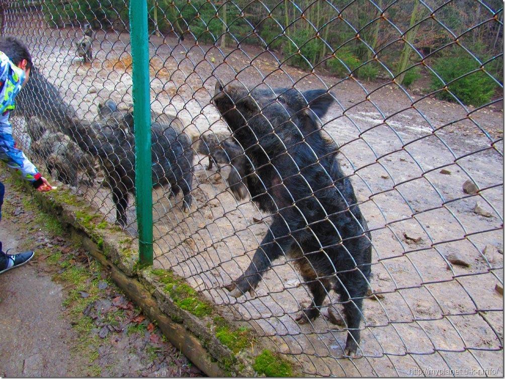 Свин випрошує ласощі