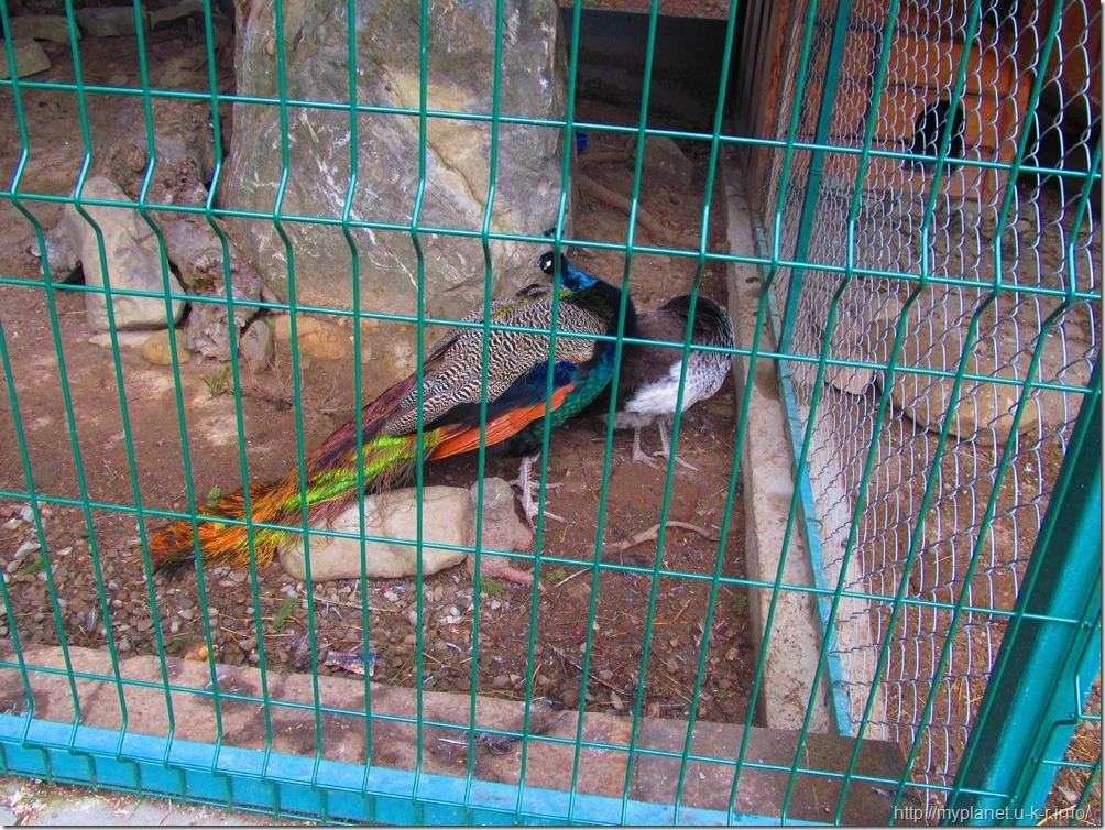 Красень - павич