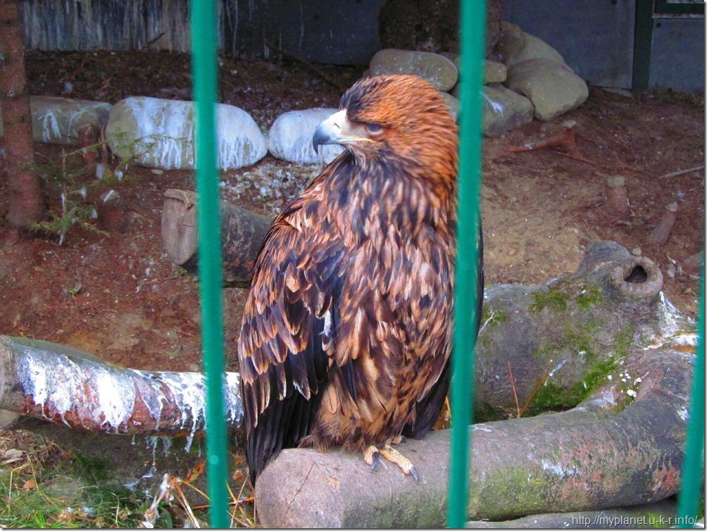 Важный гордый орел беркут