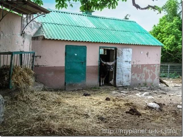 Домашняя форма дикого быка - Гаял выглядывает из сарая