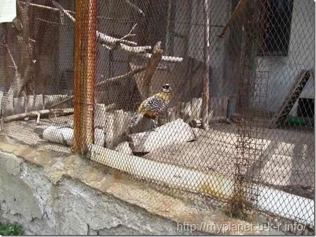 А вот и сам Королевский фазан