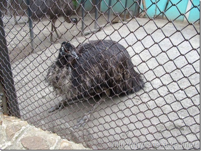 А вот и сам страус Эму - наверное, самый несчастный обитатель Харьковского зоопарка