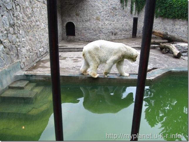 Бедненький, замученный белый медведь