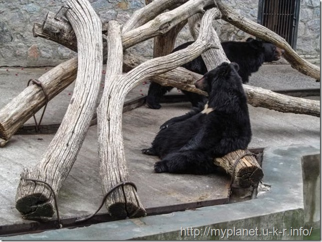 Уссурийский белогрудый медведь спит сидя на бревне