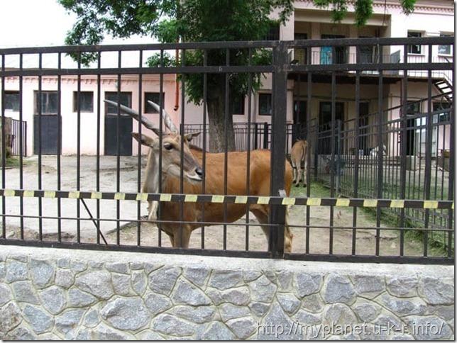 А вот и сама канна степная за забором
