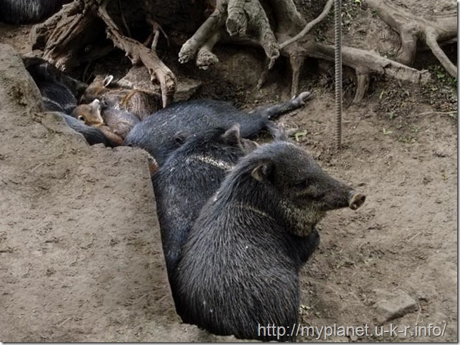 Стадо пекари спит среди корней дерева