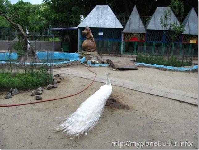 Белый важный павлин