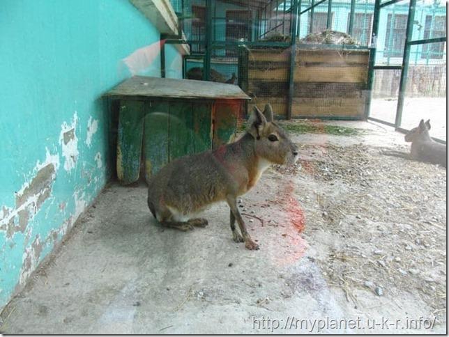 Милаха - что то типа кенгуру-кролико-косуля - Патагонская мара