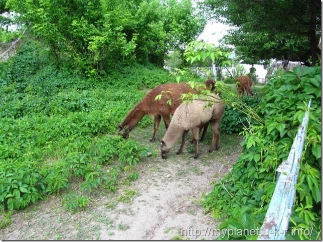 Ламы кушают траву