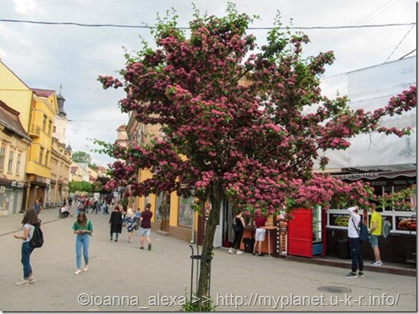 Дерево декоративного розового боярышника на улице Ужгорода