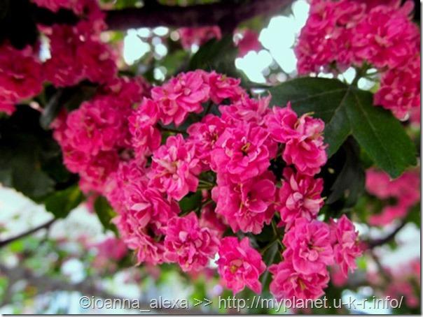 Яскраві суцвіття декоративного махрового рожевого глоду