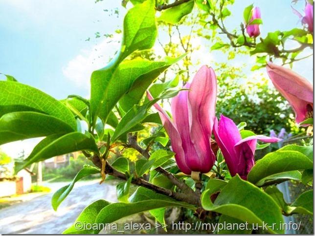 Крупные красивые цветы магнолии