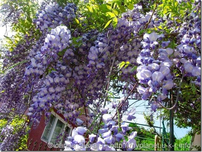 Глициния (вистерия) – выглядит как огромные фиолетовые соцветия вьющейся акации