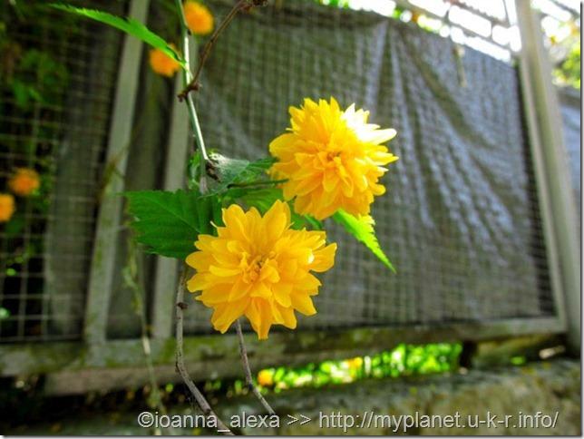 Желтые розочки – Керрия японская 'Пленифлора'