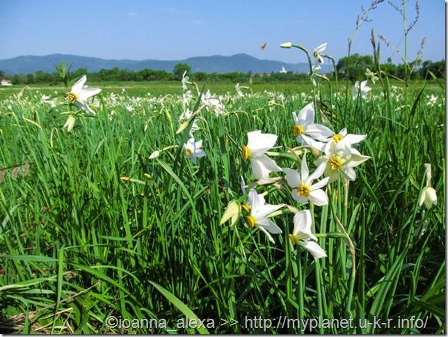 Белые цветы нарцисса крупным планом на фоне Долины Нарциссов в Хусте