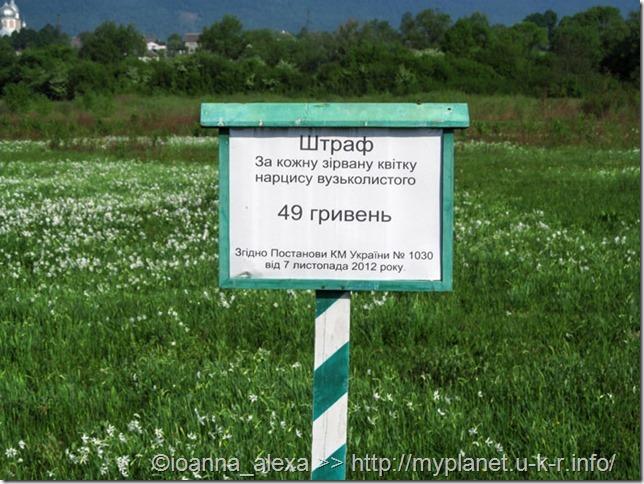 Табличка гласит, что за каждый сорванный цветок белого нарцисса штраф 49 грн