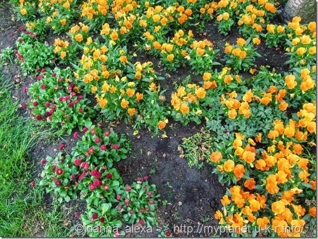 Оранжевые анютины глазки и красные маргаритки